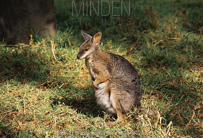 Tammar Wallaby (Macropus eugenii) S Australia scrub and heathlands of scattered coastal  -  Dave Watts/ npl