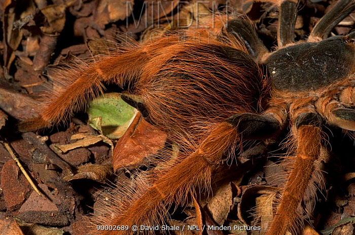 Columbian Giant Red Leg (Megaphobema robustum)  -  David Shale/ npl
