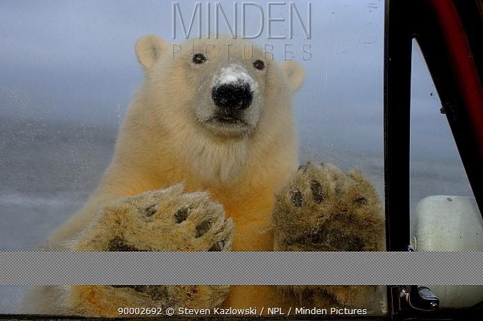 Polar Bear (Ursus maritimus) looking through truck window, seen from inside, Coastal plain of the Arctic National Wildlife Refuge, Alaska  -  Steven Kazlowski/ npl