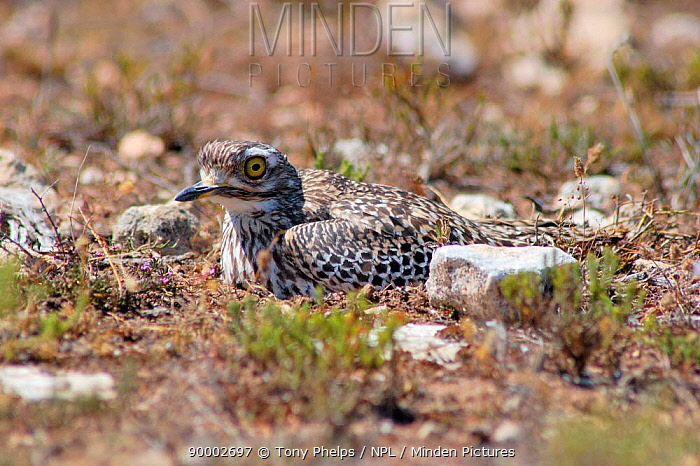 Spotted Thick-knee (Burhinus capensis) on ground nest, South Africa  -  Tony Phelps/ npl