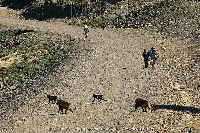 Gelada Baboon (Theropithecus gelada) group crossing a road, Debre Libano Ethiopia 2500 m altitude  -  Christophe Courteau/ npl