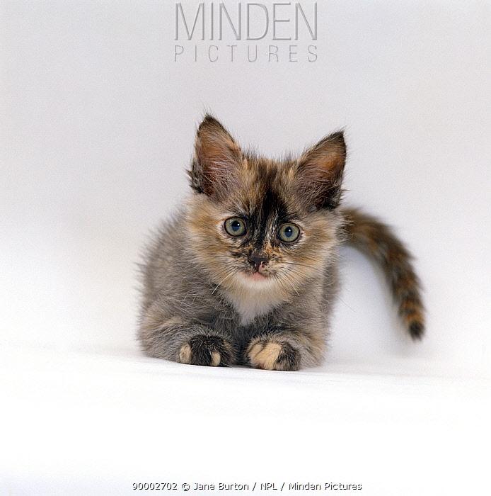 Domestic Cat (Felis catus), 8-week tortoiseshell ragdoll-turkish-van-cross kitten  -  Jane Burton/ npl