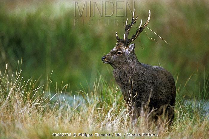 Sika Deer (Cervus nippon) stag with mud covered antlers, Jaegersborg Dyrehaven, Copenhagen, Denmark  -  Philippe Clement/ npl