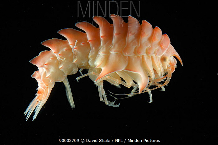 Amphipod (Epimeria loricata) benthic, Barents sea, Northern Europe  -  David Shale/ npl