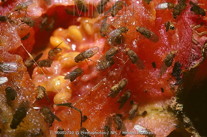 Fruit Fly (Drosophila funebris) feeding on tomato in compost heap, United Kingdom  -  Premaphotos/ npl