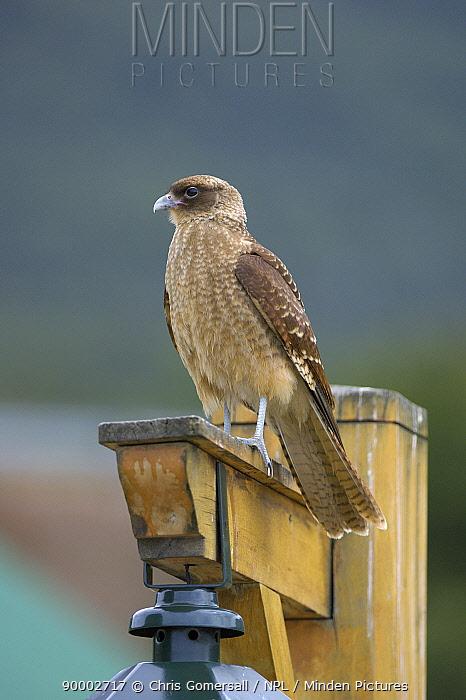 Chimango caracara (Milvago chimango) on lookout post Ushuaia, Tierra del Fuego, Argentina  -  Chris Gomersall/ npl