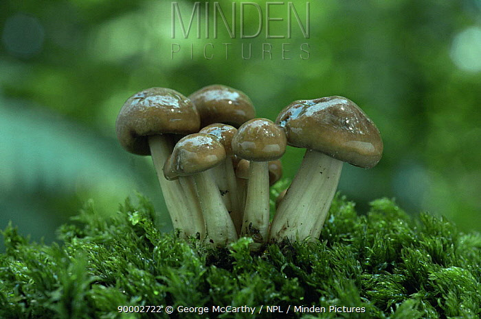 Spindle shank fungus (captiveollybia fusipes) UK  -  George Mccarthy/ npl