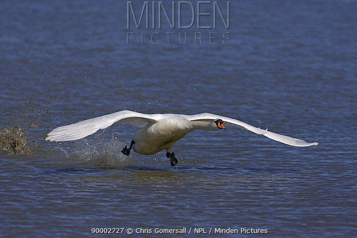 Mute Swan (Cygnus olor) adult taking flight Norfolk, England  -  Chris Gomersall/ npl