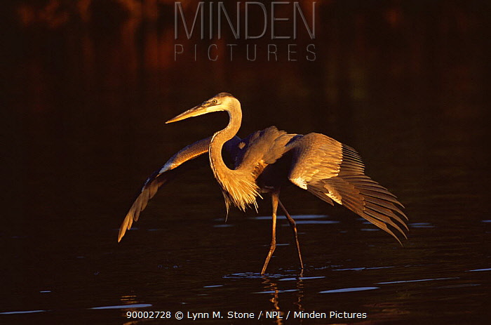 Great Blue Heron (Ardea herodias) wading though water with wings spread, Florida  -  Lynn M. Stone/ npl