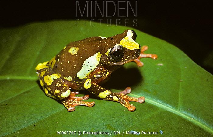 Shreve's Sarayacu Treefrog (Hyla sarayacuensis) in Amazonian rainforest, Brazil  -  Premaphotos/ npl
