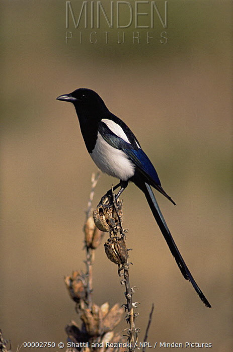 Black billed magpie (Pica hudsonia) Colorado, USA,  -  Shattil & Rozinski/ npl