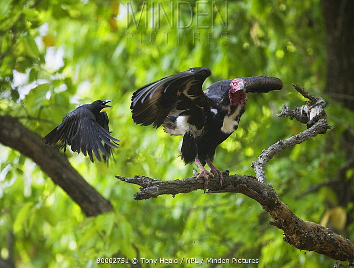 Red-Headed Vulture [Sarcogyps calvus] being attacked by Large-Billed Crow [Corvus macrohynchos] Bandhavgarh NP, Madhya Pradesh, India, March  -  Sharon Heald/ npl