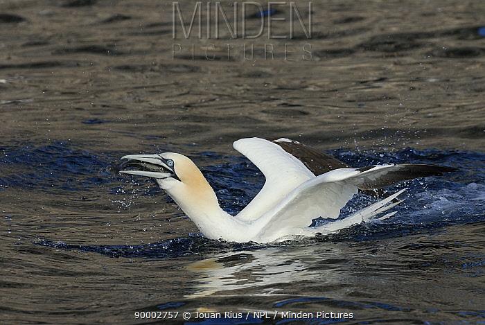 Gannet (Morus, Sula bassana) with fish in its beak, Shetland Islands, Scotland, UK  -  Jouan & Rius/ npl