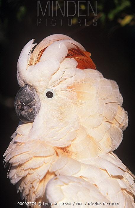 Salmon-crested Cockatoo (Cacatua moluccensis) portrait,  -  Lynn M. Stone/ npl