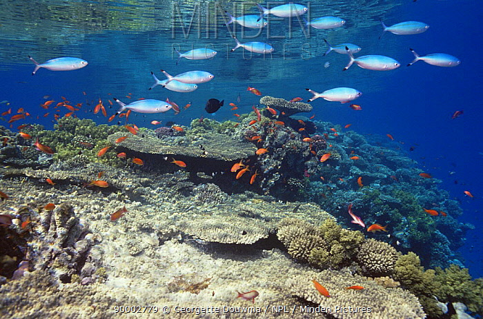 Coral reef landscape with Anthias and fusillers, Red Sea, Egypt, 'The Blue Planet'  -  Georgette Douwma/ npl