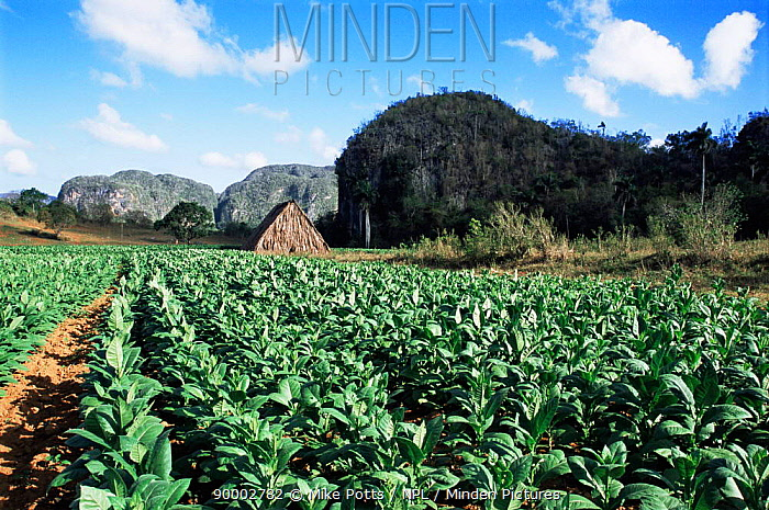 Tobacco crop in full growth, Vinales valley, Cuba  -  Mike Potts/ npl