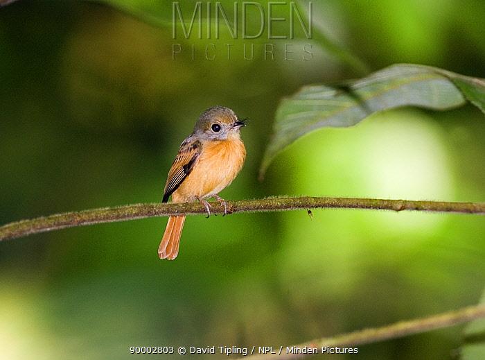 Ruddy-tailed Flycatcher (Terenotriccus erythrurus fulvigularis) perching on branch, Metro Park, Panama City, Panama  -  David Tipling/ npl