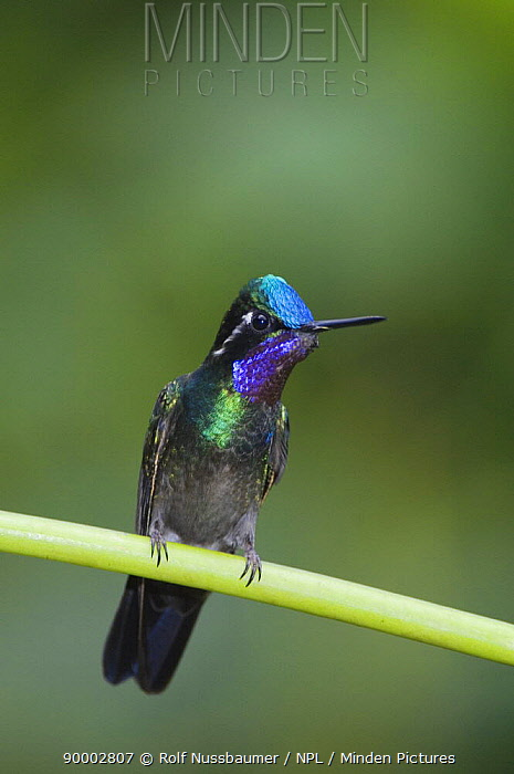 Purple-throated Mountain-gem (Lampornis calolaema) male perched, Central Valley, Costa Rica  -  Rolf Nussbaumer/ npl