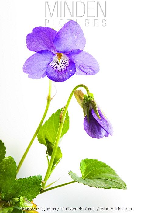 Common Dog-violet (Viola riviniana),, Angus, Scotland United Kingdom  -  Niall Benvie/ npl