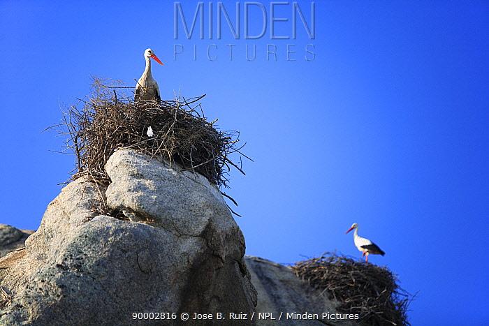 White Stork (Ciconia ciconia) in nests on rocks, Los Barruecos National Park, Malpartida de Caceres, Extremadura, Spain  -  Jose B. Ruiz/ npl