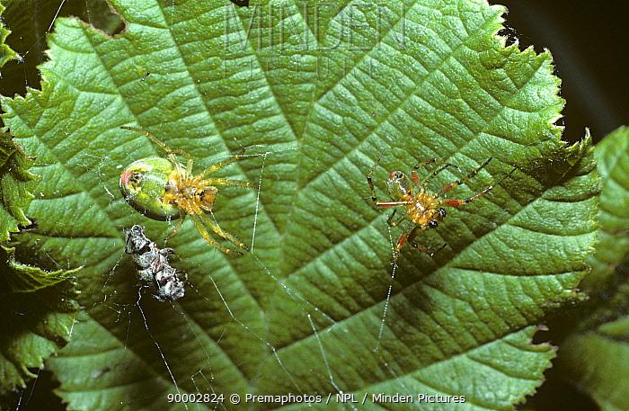 Cucumber Spider (Araniella cucurbitina) female chasing off a courting male, United Kingdom  -  Premaphotos/ npl