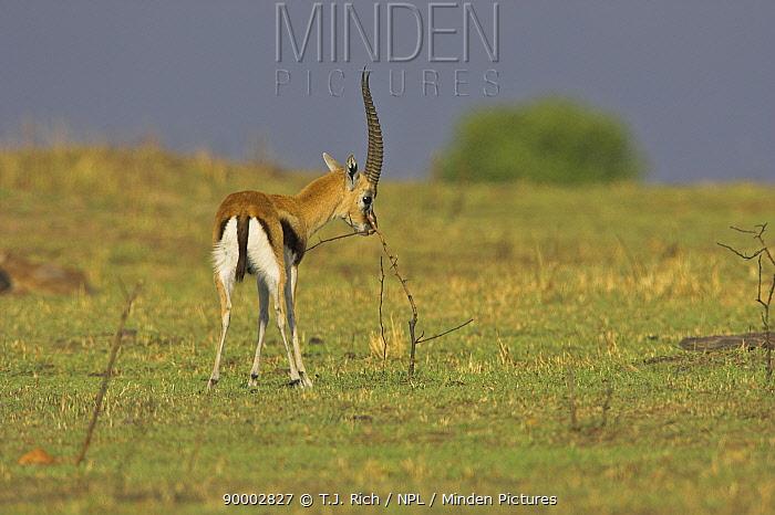 Thomson's Gazelle (Gazella thomsoni) territorial male scent-marking with pre-orbital gland, Masai Mara Reserve, Kenya  -  T.J. Rich/ npl