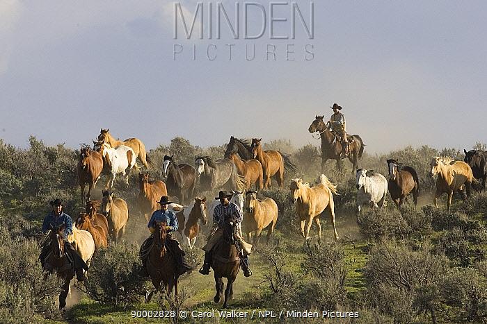 Cowboys driving horses (Equus caballus) at Sombrero Ranch, Craig, Colorado Model released  -  Carol Walker/ npl