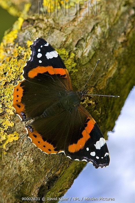 Red Admiral (Vanessa atalanta) butterfly on lichen covered branch, Wiltshire, England  -  David Kjaer/ npl