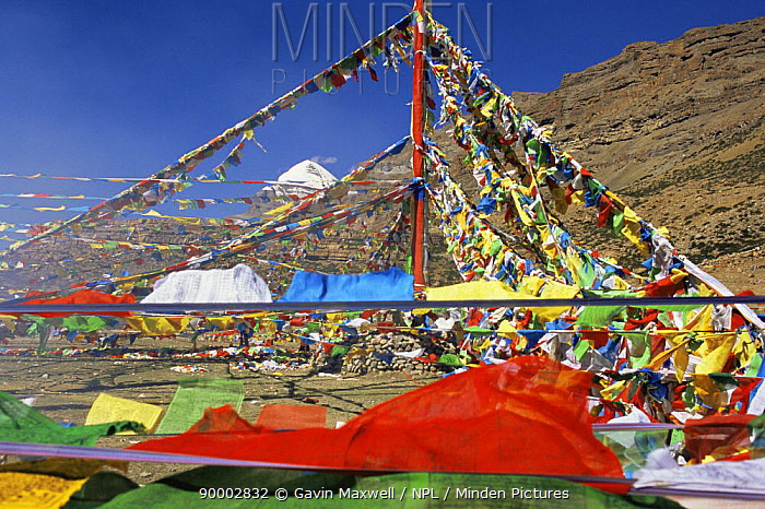 Prayer flags at the Saga Dawa festival, with Mount Kailash in the background, Tibet  -  Gavin Maxwell/ npl