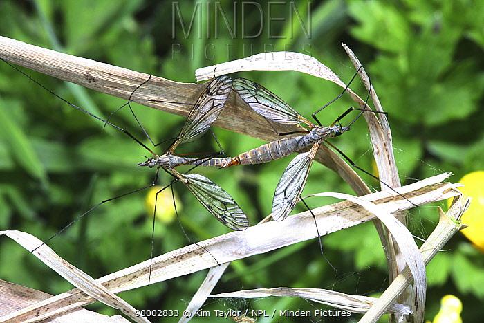 Crane Fly (Tipulidae) mating pair Surrey, United Kingdom  -  Kim Taylor/ npl
