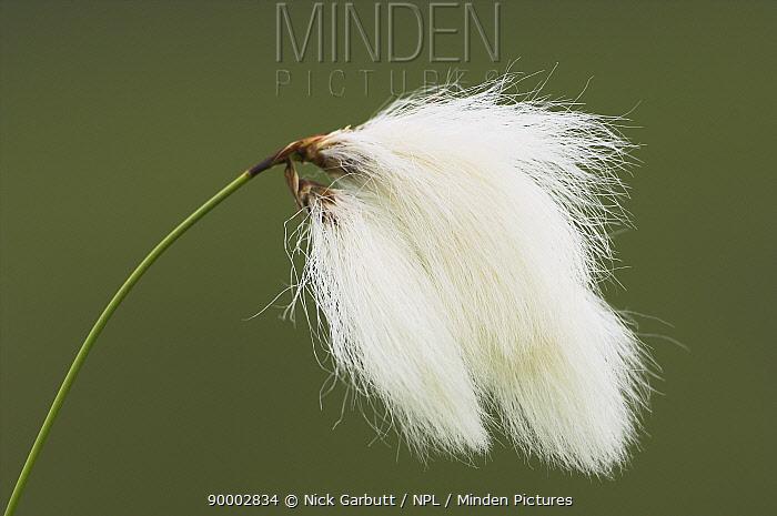 Cottongrass (Eriophorum angustifolium) Isle of Mull, Scotland  -  Nick Garbutt/ npl