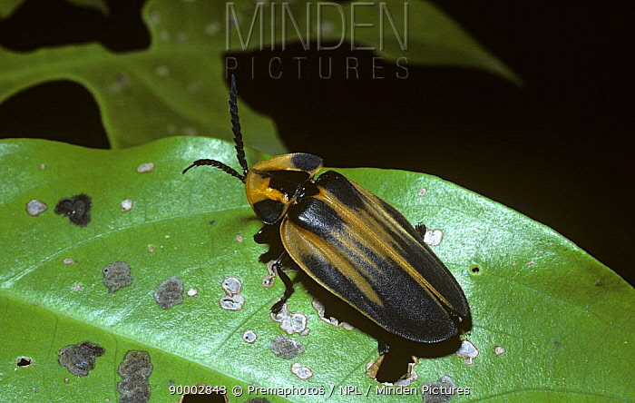 Beetle (Lamprocera latreillei) resembling a distasteful lycid beetle This is part of a mimicry complex based on lycid beetles, in rainforest, Brazil  -  Premaphotos/ npl
