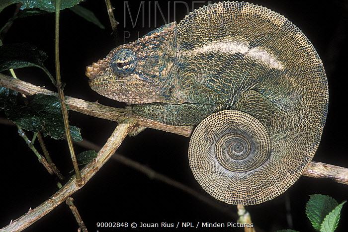 O'shaughnessy's Chameleon (Calumma oshaughnessyi) at night, tropical rainforest, Montagne d�Ambre National Park, Madagascar  -  Jouan & Rius/ npl