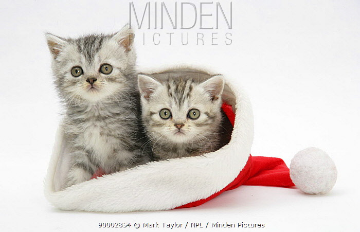 Domestic Cat (Felis catus) two Tabby kittens in a Father Christmas hat  -  Mark Taylor/ npl