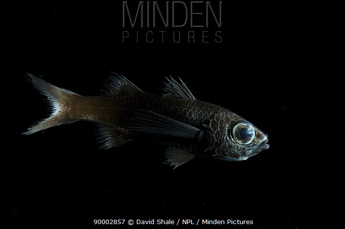 Deep sea fish (Howella sherborni) Mid-atlantic ridge, from 500-400m at night  -  David Shale/ npl