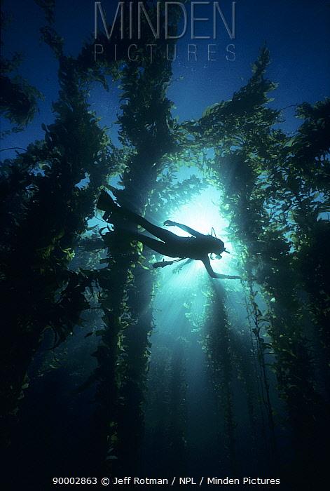 Diver Swims through Giant Kelp Forest, California, Pacific Ocean  -  Jeff Rotman/ npl