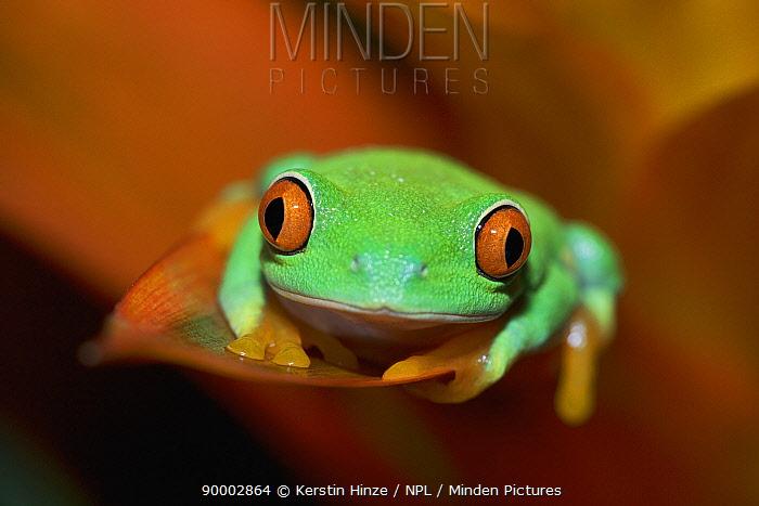 Red-eyed Tree Frog (Agalychnis callidryas) in Bromeliad flower,  -  Kerstin Hinze/ npl