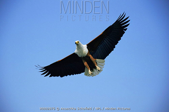 African Fish Eagle (Haliaeetus vocifer) in flight, Botswana  -  Anuschka De Rohan/ npl