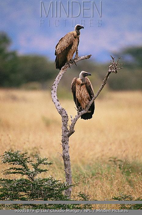 Ruppell's Griffon (Gyps rueppellii) pair Masai Mara GR, Kenya  -  Luiz Claudio Marigo/ npl