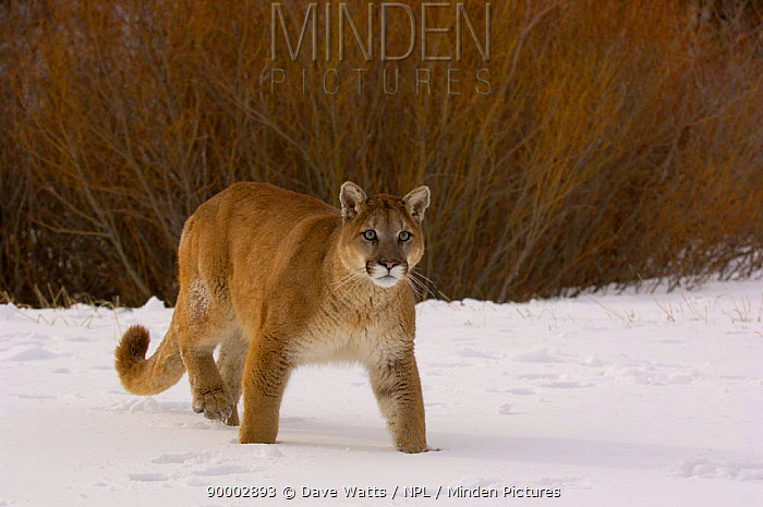 Cougar, Mountain Lion, Puma (Felis concolor)  -  Dave Watts/ npl