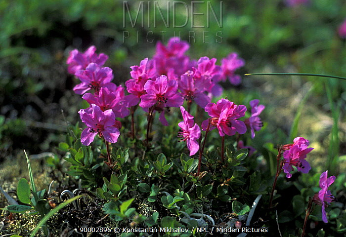 (Rhododendron redowskianum) flowering in Sikhote-Alin mountains, Primorsky, SE Siberia, Russia (Ussuriland)  -  Konstantin Mikhailov/ npl