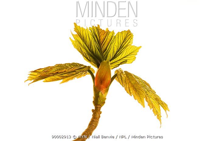 Sycamore (Acer pseudoplatanus), Angus, Scotland United Kingdom  -  Niall Benvie/ npl