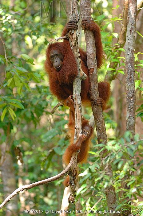 Orangutan (Pongo pygmaeus) mother climbing tree with baby, Rehabilitation sanctuary, Tanjung Puting National Park, Kalimantan, Indonesia  -  David Pike/ npl