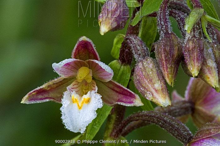 Marsh Helleborine (Epipactis palustris), De Panne, Belgium  -  Philippe Clement/ npl