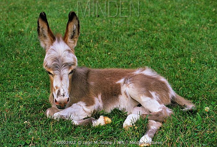 Donkey (Equus asinus) foal, resting  -  Lynn M. Stone/ npl
