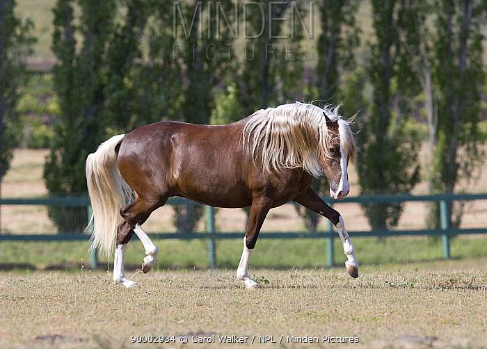 Chocolate Peruvian Paso stallion trotting in paddock, Ojai, California, USA  -  Carol Walker/ npl