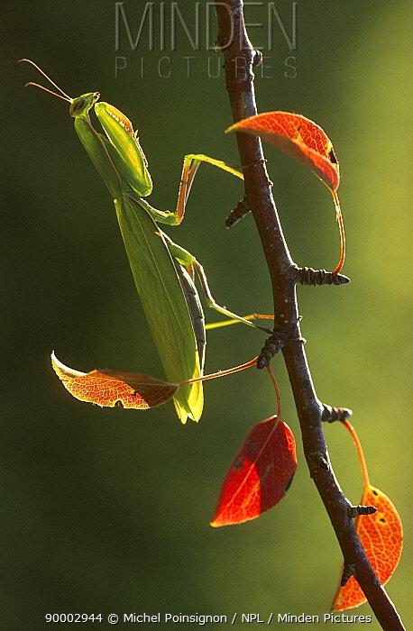 European Mantid (Mantis religiosa) female on branch in autumn, Lorraine, France  -  Michel Poinsignon/ npl