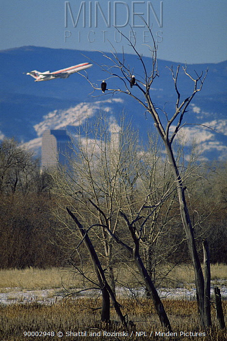 Bald Eagle (Haliaeetus leucocephalus) perched in tree with Denver skyline and aeroplane taking off from Denver airport in the background, Rocky Mt Arsenal NWR, Colorado  -  Shattil & Rozinski/ npl