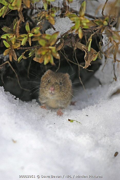 Bank Vole (Clethrionomys glareolus) coming out of burrow under snow, Carmarthenshire, Wales, United Kingdom  -  Dave Bevan/ npl