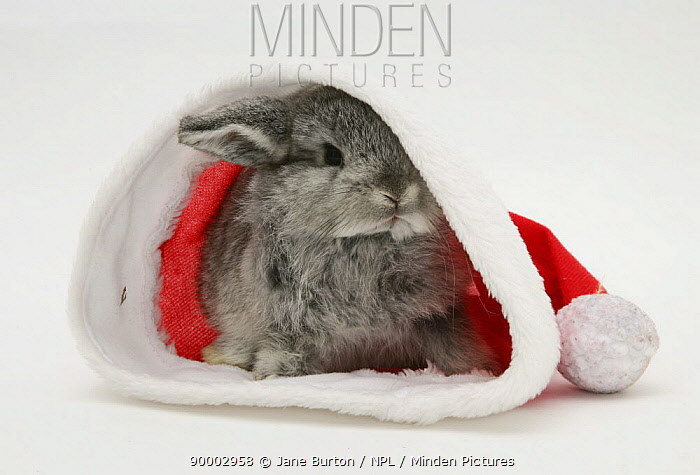 Silver baby rabbit in a Father Christmas hat  -  Jane Burton/ npl